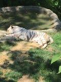 Οκνηρή άσπρη τίγρη Στοκ Εικόνες