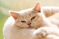 Οκνηρή βρετανική γάτα Shorthair Στοκ Φωτογραφίες