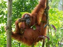 Οκνηρή ζούγκλα Utan Sumatra ουρακοτάγκων στοκ εικόνα με δικαίωμα ελεύθερης χρήσης