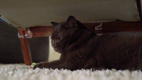 Οκνηρή καφετιά βρετανική κοντή γάτα τρίχας που βάζει στο έδαφος και που παίζει με το παιχνίδι ποντικιών Εύθυμα παιχνίδια γατών με απόθεμα βίντεο