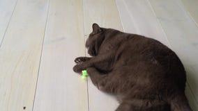 Οκνηρή καφετιά βρετανική κοντή γάτα τρίχας που βάζει στο έδαφος και που παίζει με το παιχνίδι ποντικιών Εύθυμα παιχνίδια γατών με φιλμ μικρού μήκους