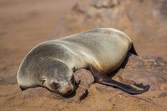 Οκνηρή καφετιά σφραγίδα γουνών που στηρίζεται στην άμμο, σταυρός ακρωτηρίων, Ναμίμπια Στοκ Εικόνες