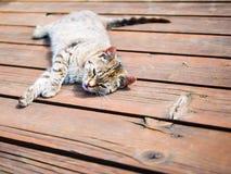 Οκνηρή τιγρέ γάτα που χαλαρώνει τα ξύλινα, φωτεινά χρώματα Στοκ Εικόνα