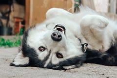 Οκνηροί γεροδεμένοι ύπνοι σκυλιών στην πλάτη του στο ναυπηγείο στοκ εικόνα με δικαίωμα ελεύθερης χρήσης