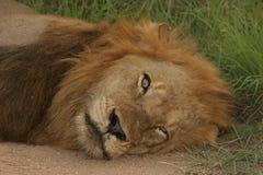 Οκνηρό αρσενικό λιονταριών Στοκ εικόνες με δικαίωμα ελεύθερης χρήσης