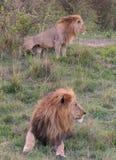 οκνηρό λιοντάρι Στοκ εικόνες με δικαίωμα ελεύθερης χρήσης