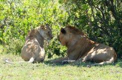 οκνηρό λιοντάρι Στοκ Εικόνα