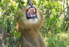 οκνηρό λιοντάρι Στοκ φωτογραφία με δικαίωμα ελεύθερης χρήσης