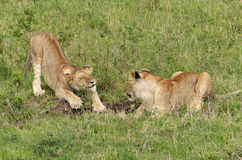 οκνηρό λιοντάρι Στοκ Φωτογραφία