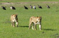 οκνηρό λιοντάρι Στοκ εικόνα με δικαίωμα ελεύθερης χρήσης