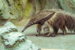 Οκνηρό anteater Στοκ Φωτογραφία