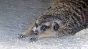 Οκνηρό meerkat Στοκ φωτογραφία με δικαίωμα ελεύθερης χρήσης