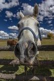 1 Οκτωβρίου 2016 - κλείστε επάνω το άλογο snoot, κοντά σε Ridgway, Κολοράντο - ακριβώς από το Hill κούτσουρων Στοκ Εικόνα