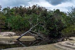 2018, Οκτώβριος Florianopolis, Βραζιλία Νεκρός κορμός δέντρων αφορημένος κάτω την επιφάνεια μιας μικρής πορείας του νερού, Campec στοκ εικόνα