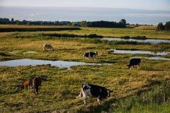 ολλανδική βοσκή αγελάδ&o Στοκ Εικόνα