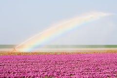 ολλανδική rainbowe τουλίπα πεδ στοκ εικόνα με δικαίωμα ελεύθερης χρήσης