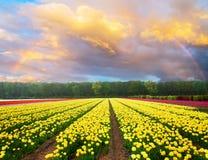 Ολλανδικοί κίτρινοι και ιώδεις τομείς τουλιπών στην ηλιόλουστη ημέρα στοκ εικόνες