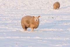 Ολλανδικός χειμώνας andscape με τα πρόβατα στο χιονισμένο λιβάδι Στοκ Εικόνες