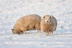 Ολλανδικός χειμώνας andscape με τα πρόβατα στο χιονισμένο λιβάδι Στοκ φωτογραφίες με δικαίωμα ελεύθερης χρήσης