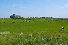 ολλανδικό τοπίο αγελάδων Στοκ Φωτογραφία