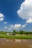 ολλανδικό τοπίο αγελάδ&ome Στοκ φωτογραφία με δικαίωμα ελεύθερης χρήσης