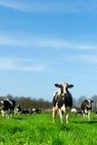 ολλανδικό τοπίο αγελάδ&ome Στοκ Εικόνες