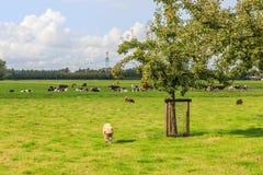Ολλανδικό τοπίο πόλντερ με τον οπωρώνα και λιβάδια με τα πρόβατα και τις αγελάδες στοκ εικόνα