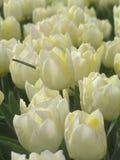 ολλανδικό tulipfield 8 Στοκ φωτογραφία με δικαίωμα ελεύθερης χρήσης