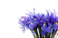 Ομάδας λουλούδια ίριδων που απομονώνονται πορφυρά στο λευκό στοκ φωτογραφία με δικαίωμα ελεύθερης χρήσης