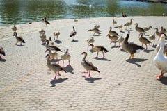 Ομάδα, ομάδα ή κωπηλασία των παπιών και gooses στο πάτωμα ενός πάρκου με μια λίμνη και της πηγής στο υπόβαθρο στοκ φωτογραφίες με δικαίωμα ελεύθερης χρήσης