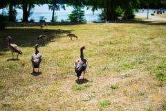 Ομάδα, ομάδα ή σύνολο των παπιών που περπατούν σε έναν πράσινο τομέα χλόης wildlife στοκ φωτογραφία