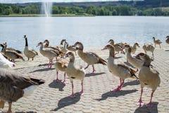 Ομάδα, ομάδα ή σύνολο των παπιών που περπατούν στην άσφαλτο ενός πάρκου, με μια λίμνη στο υπόβαθρο wildlife στοκ φωτογραφίες