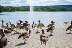Ομάδα, ομάδα ή σύνολο των παπιών που περπατούν στην άσφαλτο ενός πάρκου, με μια λίμνη στο υπόβαθρο wildlife στοκ φωτογραφία με δικαίωμα ελεύθερης χρήσης
