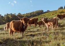 Ομάδα αγελάδας ορεινών περιοχών σε μια προσοχή λιβαδιών στη κάμερα στοκ εικόνες