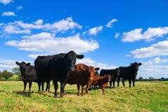 ομάδα αγελάδων Στοκ εικόνα με δικαίωμα ελεύθερης χρήσης