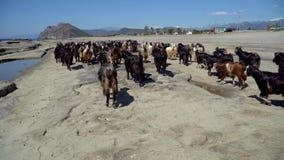 Ομάδα αιγών που περπατά στην ακτή απόθεμα βίντεο