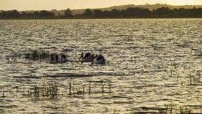 Ομάδα αυστραλιανού conspicillatus Pelecanus πελεκάνων που βουτά για τα τρόφιμα στη λίμνη Colac στο ηλιοβασίλεμα στην Αυστραλία απόθεμα βίντεο