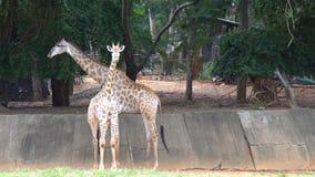 Ομάδα αφρικανικής σαβάνας ή giraffes στο ζωολογικό κήπο απόθεμα βίντεο