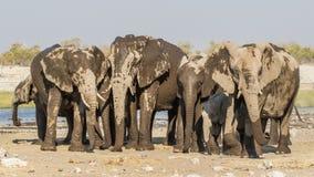 Ομάδα αφρικανικού africana Loxodonta ελεφάντων Στοκ εικόνα με δικαίωμα ελεύθερης χρήσης