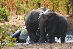 Ομάδα αφρικανικών ελεφάντων που λούζει σε μια λασπώδη λίμνη Kruger, Νότια Αφρική στοκ φωτογραφία