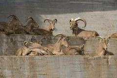 Ομάδα Βαρβαρίας sheeps σε έναν τοίχο Στοκ εικόνα με δικαίωμα ελεύθερης χρήσης