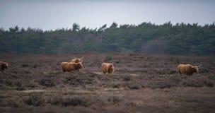 Ομάδα βοοειδών ορεινών περιοχών στο τοπίο ερείκης το χειμώνα Στοκ φωτογραφία με δικαίωμα ελεύθερης χρήσης