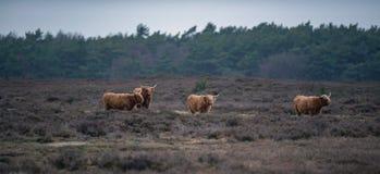 Ομάδα βοοειδών ορεινών περιοχών στο τοπίο ερείκης το χειμώνα Στοκ εικόνες με δικαίωμα ελεύθερης χρήσης