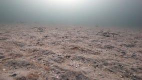 Ομάδα γιγαντιαίου περιπάτου καβουριών σε ένα εγκαταλειμμένο αμμώδες κατώτατο σημείο της Θάλασσας του Μπάρεντς απόθεμα βίντεο