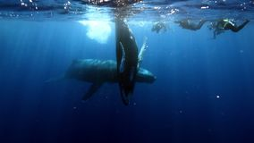 Ομάδα διαφορετικής κοντινής humpback μητέρας φαλαινών και νέου μόσχου υποβρύχιων του ωκεανού απόθεμα βίντεο