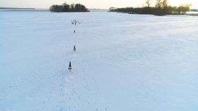 Ομάδα ελαφιών αυγοτάραχων στους χειμερινούς τομείς απόθεμα βίντεο