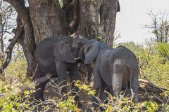 Ομάδα ελεφάντων κάτω από τα δέντρα στο πάρκο Kruger στοκ εικόνες με δικαίωμα ελεύθερης χρήσης
