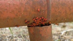 Ομάδα εντόμων Apterus σχετικά με έναν σωλήνα σιδήρου απόθεμα βίντεο