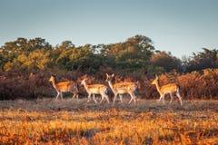 Ομάδα επισημασμένου Deers στοκ φωτογραφία με δικαίωμα ελεύθερης χρήσης