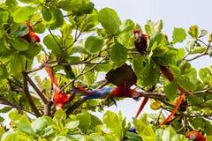 Ομάδα ερυθρού macaws, Ara Μακάο ή Arakanga Στοκ Εικόνες